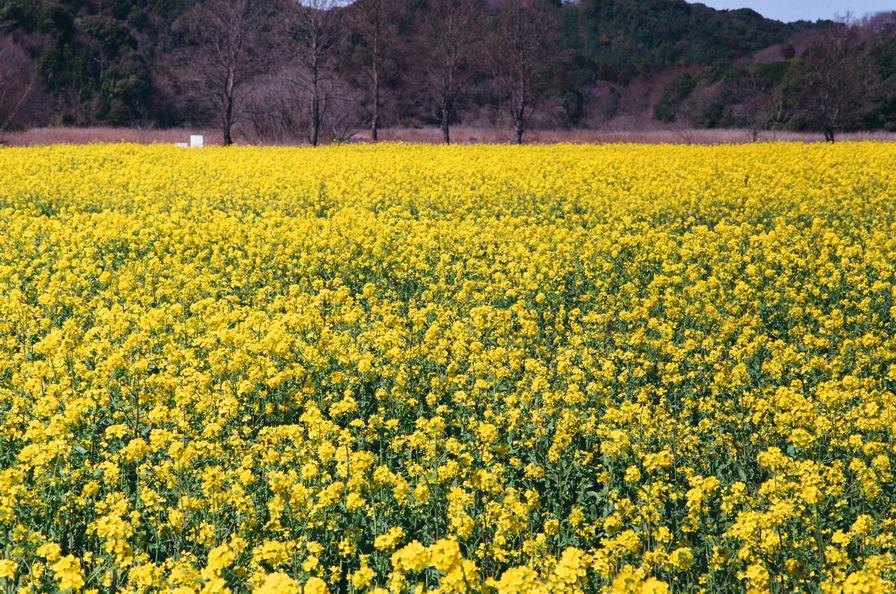 花。隨拍 by CANON FTb