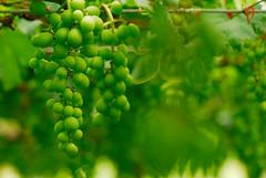 (Surform) Tags: green fruit nikon taiwan d200 grape