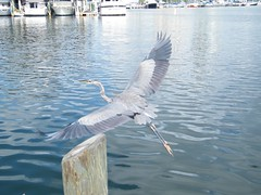 ffh aw (dmathew1) Tags: nature birds stpetersburg pier downtown tampabay florida wildlife crescentlake babygreenheron nestinggreenherons