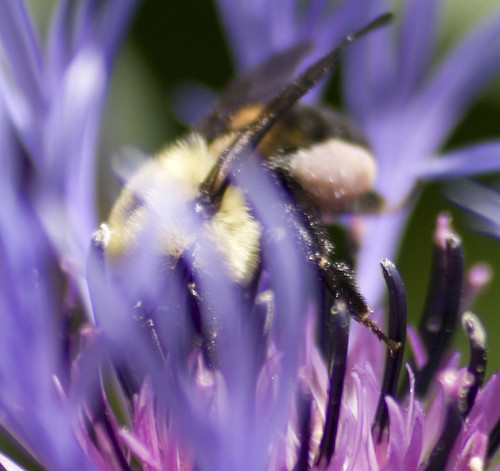 brownbelted bumblebee (2)