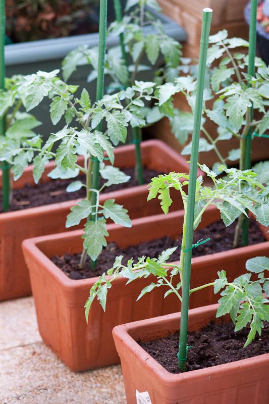 D butant tomates cerise le temps de premi res r coltes - Plant de tomate cerise ...