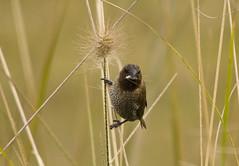 Nutmeg Mannikin (ghutcho) Tags: bird australia nsw mannikin sydneyolympicpark homebushbay nutmegmannikin