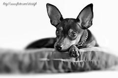 Potrait of my dog - Jojo (alicialph) Tags: dog cute art colors photoshop puppy lens miniature nikon manipulation malaysia kit doggy pooch potrait jojo doggie pinscher actions 18105 pooches d90 photoshoptutorial 18105mm nikond90 flickrlovers alicialph d90kitlens nikond90kitlens