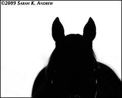 Street Sense (Rock and Racehorses) Tags: blackandwhite bw white black silhouette ears stallion streetsense ska0456