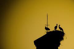Tres son multitud (Javier_Santos) Tags: sunset espaa bird atardecer sony huelva andalucia ave cielo alpha stork cigeas moguer a700