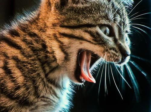 Cat Tounge