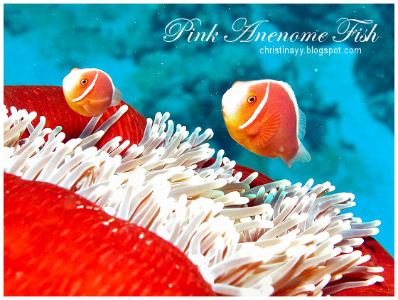 Cairns: Pink Anenome Fish
