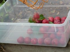 P1210418 (armadil) Tags: fruit plum plumtree pickingfruit