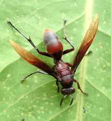 138 (retno s) Tags: bug insect wasp beautifulmonsters