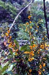 Chamaecrista flowers at Machu Picchu