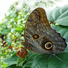Owl Butterfly (njchow82) Tags: brown nature closeup butterfly insect bokeh wildlife owlbutterfly calgaryzoo worldofanimals macrolife thesuperbmasterpiece njchow82 dmcfz35