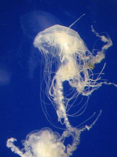 4/27/10-NatlZoo, one of my favorites the jellyfish