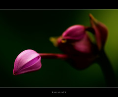 Schoonheid in de dop  .  ..  .  ..  .  ..  .[explored] (Borretje76) Tags: pink flower macro green netherlands beauty dof bokeh iso400 sony sigma explore bloem f35 flowerbud 180mm flowermacro schoonheid scherptediepte explored endchede bloemknop pinkbokeh a580 gupr borretje76 dslra580