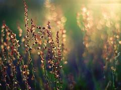 im Gegenlicht (~janne) Tags: light green nature 50mm licht bokeh f14 natur janne wetzlar gegenlicht leitz janusz summiluxr ziob
