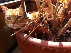 2-24-11 (mkrumm1023) Tags: orange plants cat kitties