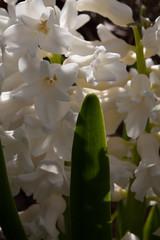 jdy079 bpl Hyacinthus Orientalis White epl Blo RbgbYard Elo Bgr1Egr XX20110320a5584.jpg (rachelgreenbelt) Tags: yard hyacinthus hyacinthusorientalis hyacinthusall rlcrec