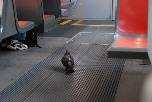 Pigeon on the Muni