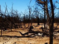 Apocalypse (geyergus) Tags: tree apocalypse burnt desolate burned frankston bushfire