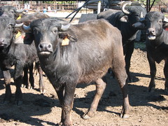 Yearling Bulls  - water buffalo (WaterBuffalo) Tags: waterbuffalo buffalosteak rainforestanimals animalsmating waterbuffalopicture waterbuffaloforsale