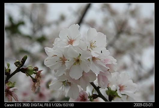 20090301Cherry_blossom_2