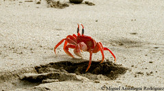 Crab loose on beach (Marreategui) Tags: summer beach legs crab playa per shore patas verano orilla cangrejo tumbes zorritos