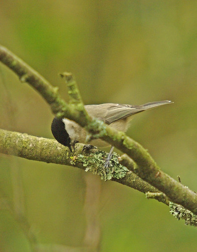Marsh Tit Dunsford