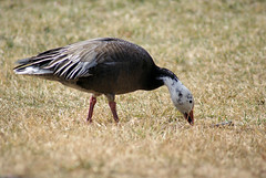 horse of a different color (barbandcutlet) Tags: snowgeese