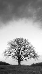 Globe (Valerio.I) Tags: winter sky blackandwhite bw italy tree clouds oak italia nuvole branches dramatic cerro cielo lonely albero inverno biancoenero rami cef fise castelliromani pratonidelvivaro valerioi roccadipapa quercuscerris centroequestrefederale