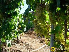 Viña uva blanca Icod