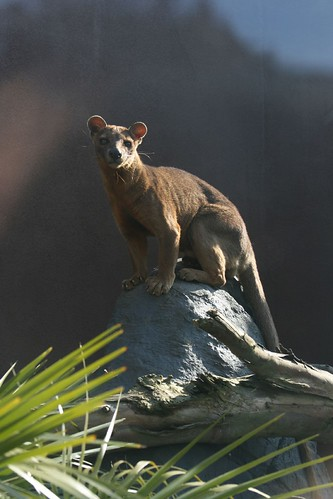 Fossa by Keith@Fibonacci, on Flickr