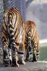 and down again... (greenchartreuse) Tags: animals zoo feline bigcat tigers sumatrantiger canoneos350d burgerszoo animalpark canondigitalrebelxt pantheratigrissumatrae burgersrimba tigerstails