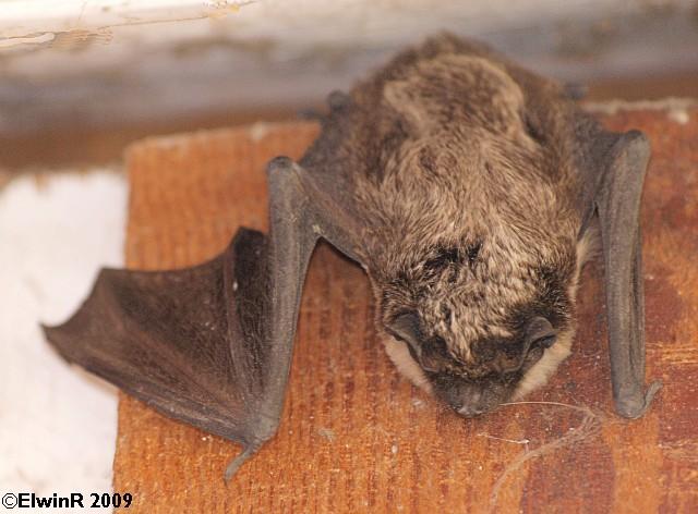 Mammalia: Vespertilio murinus (Zweifarben-Fledermaus) 2009-03
