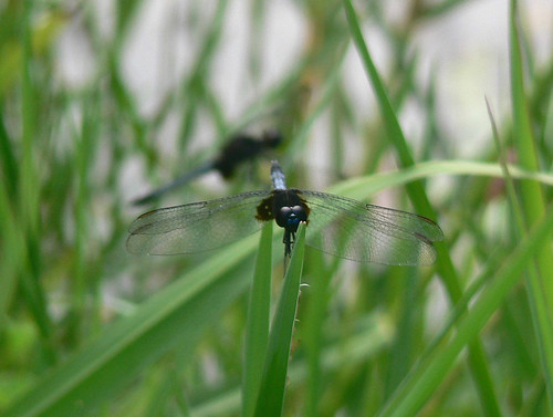 animals insects dragonflies