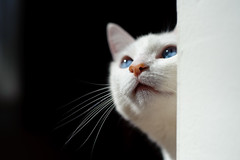 (lulu.photo) Tags: white cat nikon peaches nikkor50mm luluphoto bestofcats d700 misterpeaches