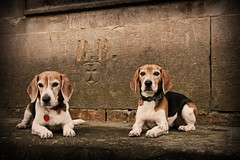 B + B (StafbulCZ) Tags: light dog pet pets beagle dogs animal canon eos flickr sara colours czech indy czechrepublic tamron jarek gettyimages loreta jicin cesko echy esko jin tamron1750 400d eos400d canoneos400d eskrj jicinsko stafbulcz jinsko jaroslavvondracek