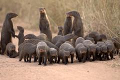 Banded Mongoose (Mungos mungo) Gebande Muishond (Peet van Schalkwyk) Tags: nature southafrica photo image wildlife krugernationalpark bandedmongoose mungosmungo gebandemuishond