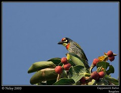 Coppersmith Barbet (Neloy) Tags: india nature birds canon bangalore barbet coppersmithbarbet neloy vosplusbellesphotos