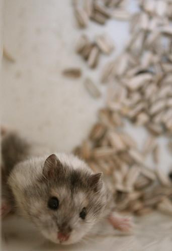 my hamster 1