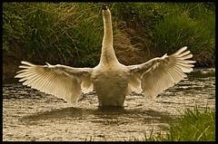 Mute Swan. (anthonynixon17) Tags: b swan seen mute groupb naturesfinest a colorphotoaward photosa hrefhttpwwwflickrcomgroupsbirdsphotosbirds