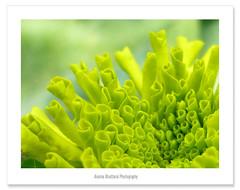 Happy New Year 2066 !! (Anuma S. Bhattarai) Tags: new flowers nepal flower nature yellow garden happy asia year yellowflower april kathmandu marigold nepali sharma 2066 anuma marigoldflower yellowmarigold anumasharma 72lumixpanasonicdmcls70 happynewyear2066 newyear2066
