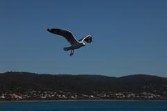 Seagull 1 (Luke Gamon) Tags: bird seagull flight lorne