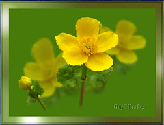 Caltha  or Marsh Marigold / Kingcup (Guy@Fawkes) Tags: flower yellow petals spring marshmarigold caltha kingcup platinumphoto anawesomeshot theperfectphotographer thesuperbmasterpiece awesomeblossoms