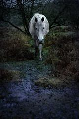 "Day 105 of 365. - ""Wild Horse in the rain"" (ArchedRoof) Tags: england horse cold wet rain weather nationalpark miserable newforest whitehorse wildhorse"