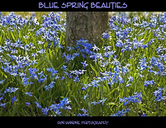 Blue Spring Beauties (Don Iannone) Tags: flowers spring poetry explore wildflowers frontpage springflowers springtime naturesfinest holdenarboretum naturesbeauty northeastohio imagepoetry poetryinpictures april2009 bluewildflowers kirtlandohio lakecountyohio doniannone doniannonephotography parkscornerohio bluespringbeauties