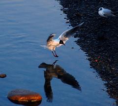 the landing (aaberg) Tags: reflection bird water norway stone river norge nikon norwegen landing trondheim fugl stein vann nidelva refleksjon blackheadedgull elv mke d40 mse hettemke chroicocephalusridibundus