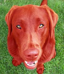Devil Red Labrador Retriever: Dakota