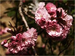 Beauty in Bloom (Kirsten M Lentoft) Tags: pink flower tree spring bej platinumphoto momse2600 betterthangood kirstenmlentoft