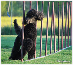 Darleen in action (darleen2902) Tags: training action blackdog agility poodle slalom darleen