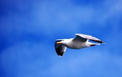 Vuelo (Betowski) Tags: nikon seagull gaviota vuelo lekeitio betowski