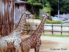 Girafas (guilherme.tirado) Tags: cores lago fotos animais tartaruga elefante arara jacaré zoologico penas girafas araraazul micoleãodecaradourada pretoeazul teztura zebrasemperspectiva pelospretoeazulgirafaselefanteararaazulmicoleãodecaradouradalagojacarétartarugazebrasemperspectivazoologicoanimaisfotoscorestezturapenas